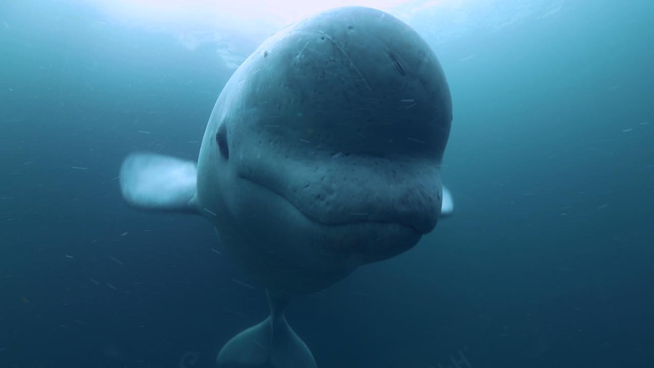 Enigma Beluga