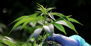 Marihuana čudesni lijek?